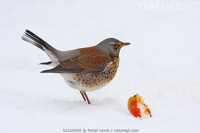 Fieldfare (Turdus pilaris) in snow by a fallen apple. Fareham, Hampshire, UK, January.  ,  Apple,BIRDS,CUTOUT,EUROPE,FEEDING,PROFILE,SNOW,songbirds,THRUSHES,Turdidae,UK,VERTEBRATES,WHITE,WINTER,United Kingdom  ,  Peter Lewis