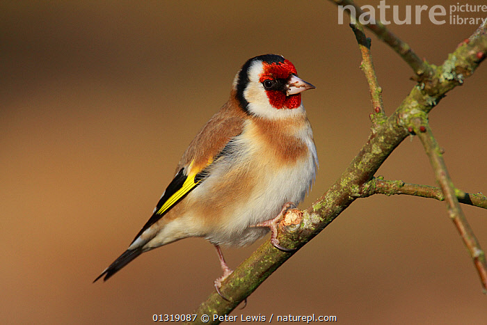 Goldfinch (Carduelis carduelis) perched on twig. Ringwood, Hampshire, UK, January.  ,  BIRDS,EUROPE,FINCHES,full frame,PROFILE,songbirds,UK,VERTEBRATES,United Kingdom  ,  Peter Lewis