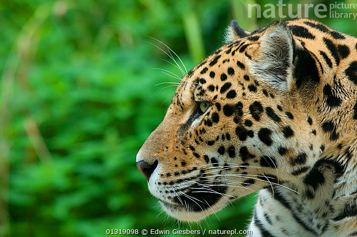 Jaguar (Panthera onca) head portrait in profile, captive  ,  BIG CATS,CARNIVORES,CLOSE UPS,ENDANGERED,JAGUARS,MAMMALS,PANTHER,PORTRAITS,PROFILE,VERTEBRATES  ,  Edwin Giesbers