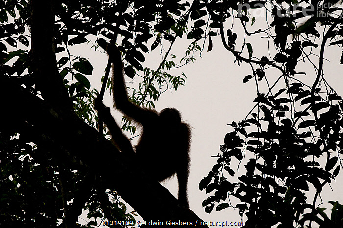 Orang utan (Pongo pygmaeus) portrait, silhouetted against sky on tree branch, Semengoh Nature reserve, Sarawak, Borneo, Malaysia, Endangered  ,  animal portrait,animals in the wild,ASIA,borneo,BORNEO ISLAND,branch,catalogue3,close up,CLOSE UPS,contemplation,ENDANGERED,full length,GREAT APES,Malaysia,MAMMALS,Nobody,one animal,ORANGUTAN,outdoors,PORTRAITS,PRIMATES,rear view,RELAXATION,RESERVE,sarawak,Semengoh Nature reserve Sarawak,SILHOUETTES,SOUTH EAST ASIA,thoughtful,Tree,TROPICAL RAINFOREST,WILDLIFE  ,  Edwin Giesbers
