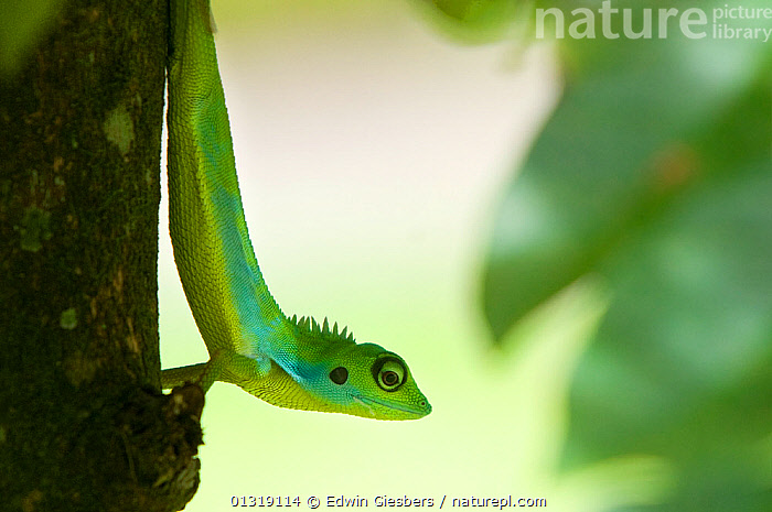 Green Crested Lizard (Bronchocela cristatella) climbing down tree trunk, Sarawak, Borneo, Malaysia  ,  AGAMAS, ASIA, BORNEO ISLAND, bronchocoela cristatella, COLOURFUL, GREEN, LIZARDS, Malaysia, REPTILES, SOUTH-EAST-ASIA, TREES, VERTEBRATES,PLANTS  ,  Edwin Giesbers