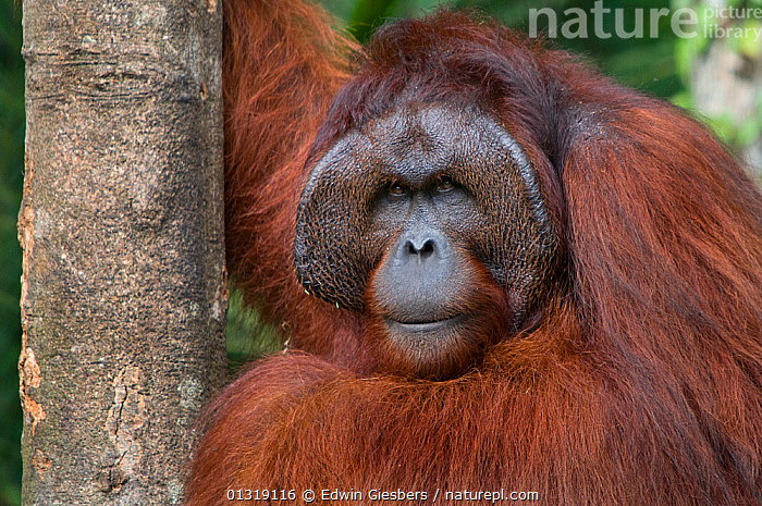 Orang utan (Pongo pygmaeus) head portrait of dominant male called Richie, Semengoh Nature reserve, Sarawak, Borneo, Malaysia, Endangered  ,  ALPHA,ASIA,BORNEO ISLAND,ENDANGERED,FACES,GREAT APES,MALES,MAMMALS,ORANGUTAN,PORTRAITS,PRIMATES,RESERVE,SOUTH EAST ASIA,TROPICAL RAINFOREST  ,  Edwin Giesbers