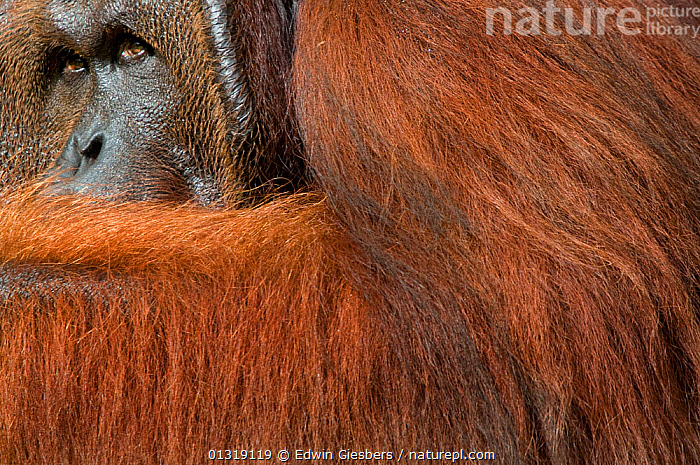 Orang utan (Pongo pygmaeus) head portrait of dominant male called Richie, Semengoh Nature reserve, Sarawak, Borneo, Malaysia, Endangered  ,  afraid,animal head,animal portrait,ASIA,borneo,BORNEO ISLAND,catalogue3,close up,CLOSE UPS,cowering,dominant,ENDANGERED,fearful,full frame,FUR,GREAT APES,guilt,HAIR,HAIRY,HEADS,looking up,Malaysia,male animal,MALES,MAMMALS,negative space,Nobody,one animal,ORANGUTAN,outdoors,paranoid,PORTRAITS,PRIMATES,RESERVE,Semengoh Nature reserve Sarawak,SOUTH EAST ASIA,suspicious,WILDLIFE  ,  Edwin Giesbers