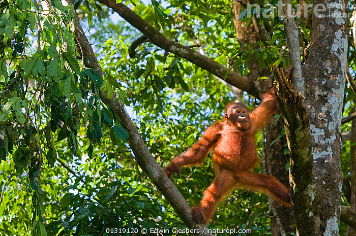 Orang utan (Pongo pygmaeus) climbing in branches of tree, Semengoh Nature reserve, Sarawak, Borneo, Malaysia, Endangered  ,  ASIA,BORNEO ISLAND,CLIMBING,ENDANGERED,GREAT APES,HABITAT,MALAYSIA,MAMMALS,ORANGUTAN,PORTRAITS,PRIMATES,RESERVE,SARAWAK,SOUTH EAST ASIA,STANDING,TREES,TROPICAL RAINFOREST,PLANTS  ,  Edwin Giesbers