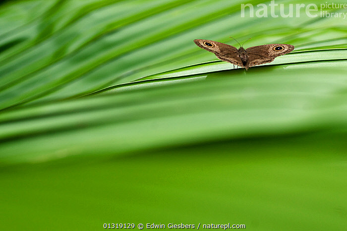 Butterfly at rest on leaf, Sarawak Borneo, Malaysia, June  ,  ASIA,BORNEO ISLAND,BUTTERFLIES,EYES,GREEN,INSECTS,INVERTEBRATES,LEPIDOPTERA,RESTING,SOUTH EAST ASIA,TROPICAL RAINFOREST  ,  Edwin Giesbers