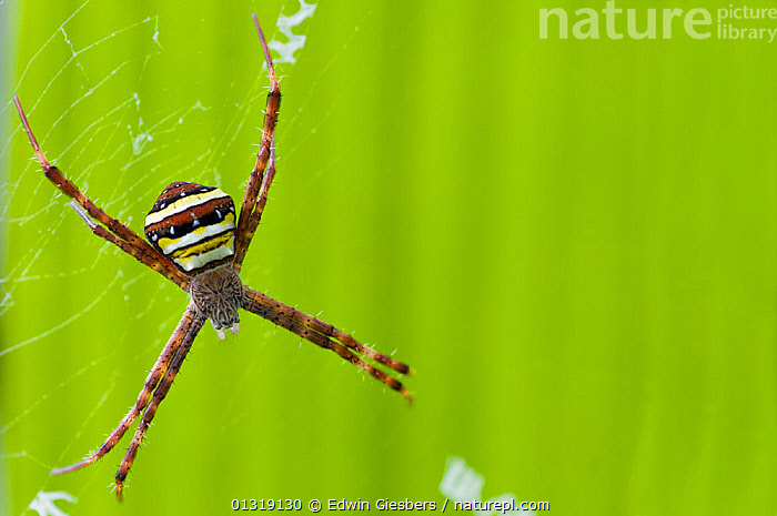 Multicoloured orb weaver spider (Argiope versicolor) female, Sarawak, Borneo, Malaysia  ,  ARACHNIDS,ARTHROPODS,ASIA,BORNEO ISLAND,COLOURFUL,FEMALES,INVERTEBRATES,ORB WEAVER SPIDERS,SOUTH EAST ASIA,SPIDERS  ,  Edwin Giesbers