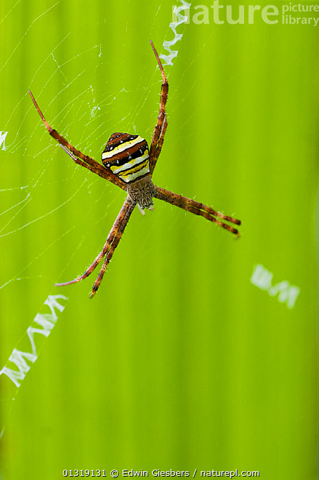 Multicoloured orb weaver spider (Argiope versicolor) female on web, Sarawak, Borneo, Malaysia  ,  ARACHNIDS,ARTHROPODS,FEMALES,GREEN,INVERTEBRATES,ORB WEAVER SPIDERS,SOUTH EAST ASIA,SPIDERS,VERTICAL,WEB  ,  Edwin Giesbers