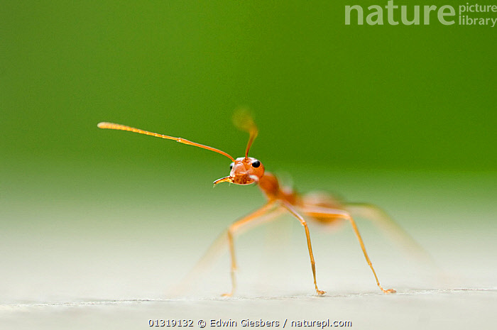 Fire ant  (Solenopsis sp) worker, standing alone  ,  HYMENOPTERA,INSECTS,INVERTEBRATES,ONE,RED ANTS,SOUTH EAST ASIA  ,  Edwin Giesbers