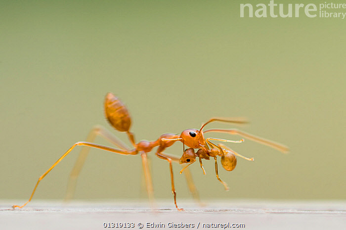Two Fire ant (Solenopsis sp) workers, one carrying the other in its jaws.  ,  BEHAVIOUR,CARRYING,HYMENOPTERA,INSECTS,INVERTEBRATES,RED ANTS,SOUTH EAST ASIA  ,  Edwin Giesbers