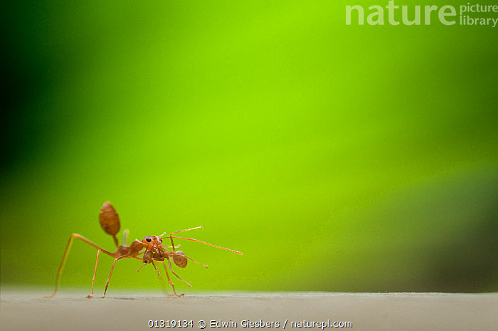 Two Fire ant (Solenopsis sp) workers, one carrying the other in its jaws, with green plant material behind  ,  BEHAVIOUR,CARRYING,GREEN,HYMENOPTERA,INSECTS,INVERTEBRATES,RED ANTS,SOUTH EAST ASIA,TWO  ,  Edwin Giesbers