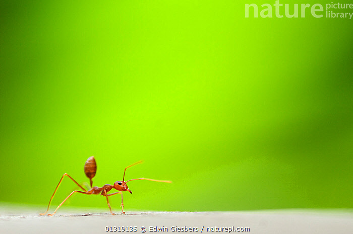 Fire ant (Solenopsis sp) worker, with green plant material behind  ,  catalogue3,close up,CLOSE UPS,copyspace,curiosity,CUTE,differential focus,exploration,focus on foreground,full length,GREEN,green colour,HYMENOPTERA,INSECTS,INVERTEBRATES,negative space,Nobody,on the move,one,one animal,outdoors,RED ANTS,selective focus,side view,single,SOUTH EAST ASIA,TINY,WILDLIFE,worker ant  ,  Edwin Giesbers