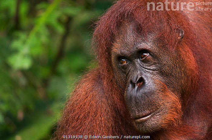 Orang utan (Pongo pygmaeus) head portrait,  Semengoh Nature reserve, Sarawak, Borneo, Malaysia, Endangered  ,  CLOSE UPS,ENDANGERED,FACES,GREAT APES,MAMMALS,ORANGUTAN,PORTRAITS,PRIMATES,RESERVE,SOUTH EAST ASIA,TROPICAL RAINFOREST  ,  Edwin Giesbers