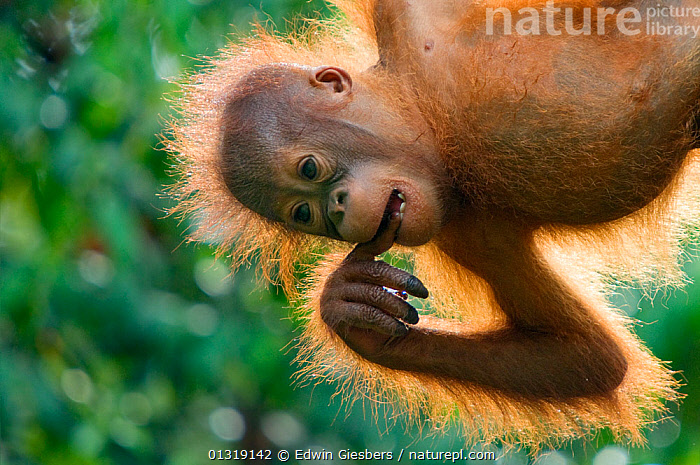 Orang utan (Pongo pygmaeus) baby hanging from trees, and chewing on fingers,  Semengoh Nature reserve, Sarawak, Borneo, Malaysia, Endangered  ,  animal portrait,anxiety,anxious,ASIA,BABIES,borneo,BORNEO ISLAND,catalogue3,chewing,close up,CLOSE UPS,DIGITS,distressed,ENDANGERED,facial expression,fingers,front view,GREAT APES,HANDS,hanging,JUVENILE,Malaysia,MAMMALS,MOUTHS,Nobody,one animal,ORANGUTAN,outdoors,PORTRAITS,PRIMATES,RESERVE,sarawak,Semengoh Nature reserve,SOUTH EAST ASIA,TREES,TROPICAL RAINFOREST,unhappy,upset ,WILDLIFE,Worry,PLANTS  ,  Edwin Giesbers