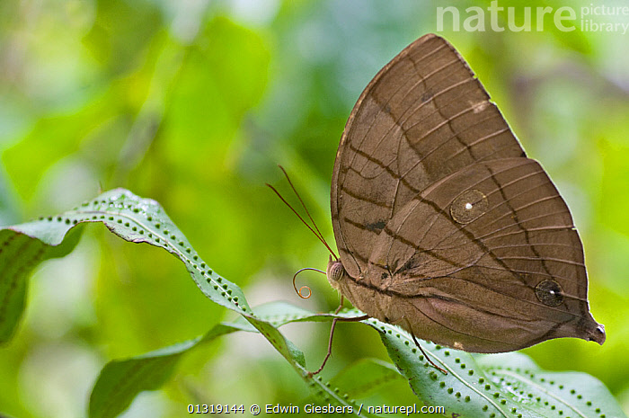 Koh-i-Noor butterfly (Amathuxidia amythaon) at rest on plant, Sarawak, Borneo, Malaysia  ,  BUTTERFLIES,INSECTS,INVERTEBRATES,LEPIDOPTERA,NYMPHALIDAE,PROFILE,SOUTH EAST ASIA,TROPICAL RAINFOREST  ,  Edwin Giesbers