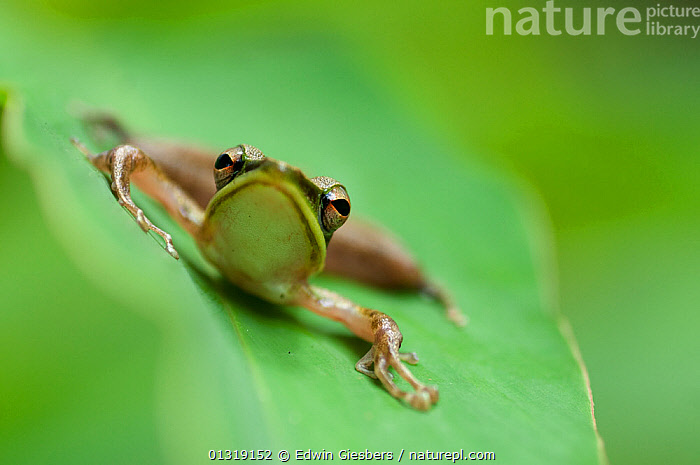 Schlegel's frog (Hydrophylax chalconotus) portrait at rest on leaf, Sarawak, Borneo, Malaysia  ,  AMPHIBIANS, ASIA, BORNEO ISLAND, ENDEMIC, FROGS, GREEN, LEAVES, PORTRAITS, Ranidae, SOUTH-EAST-ASIA, TROPICAL-RAINFOREST, VERTEBRATES,Anura  ,  Edwin Giesbers