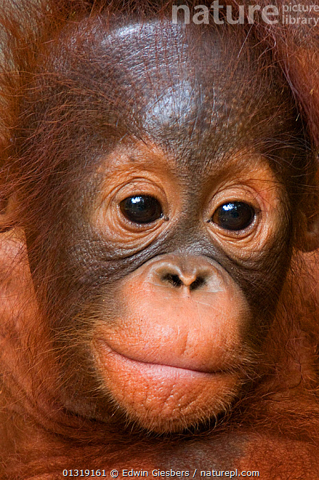 Orang utan baby (Pongo pygmaeus) head portrait,  Semengoh Nature reserve, Sarawak, Borneo, Malaysia, Endangered  ,  animal face,animal head,animal portrait,ASIA,BABIES,borneo,BORNEO ISLAND,brown eyes,catalogue3,close up,CLOSE UPS,CUTE,ENDANGERED,EXPRESSIONS,FACES,facial expression,front view,GREAT APES,innocence,JUVENILE,Malaysia,MAMMALS,Nobody,one animal,ORANGUTAN,outdoors,PORTRAITS,PRIMATES,RESERVE,sarawak,Semengoh Nature reserve,SOUTH EAST ASIA,VERTICAL,WILDLIFE,young animal  ,  Edwin Giesbers