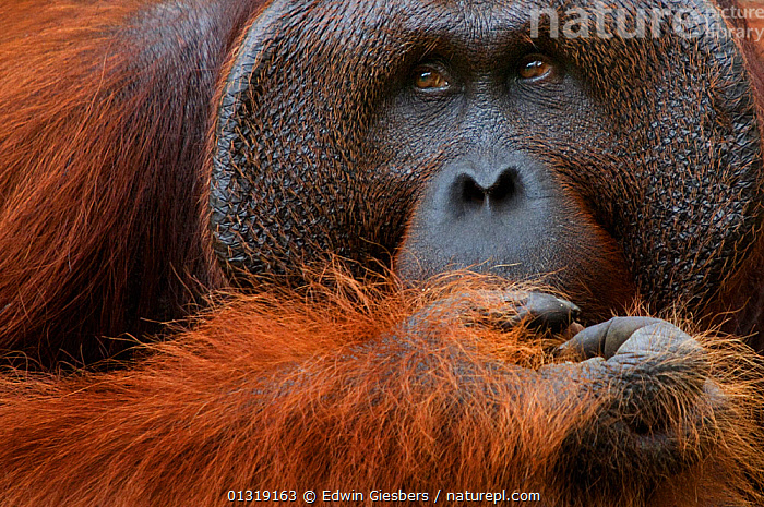 Orang utan (Pongo pygmaeus) head portrait of dominant male called Richie,  Semengoh Nature reserve, Sarawak, Borneo, Malaysia, Sarawak, Borneo, Malaysia, Endangered  ,  ASIA,BORNEO ISLAND,CLOSE UPS,ENDANGERED,GREAT APES,MALES,MAMMALS,ORANGUTAN,PORTRAITS,PRIMATES,RESERVE,SOUTH EAST ASIA  ,  Edwin Giesbers