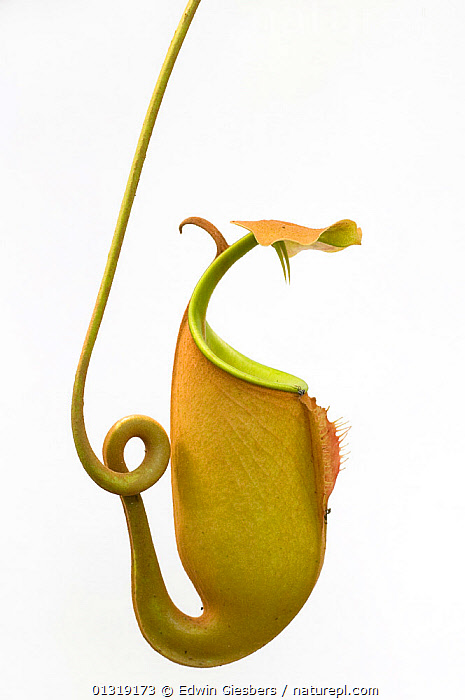 Fanged pitcher plant (Nepenthes bicalcarata)  on white background, Sarawak, Borneo, Malaysia  ,  animal likeness,ASIA,bizarre,borneo,BORNEO ISLAND,catalogue3,close up,CLOSE UPS,copyspace,CUTOUT,DICOTYLEDONS,Dragon,full length,Malaysia,nature,NEPENTHACEAE,Nobody,one object,outdoors,PLANTS,sarawak,side view,SOUTH EAST ASIA,strange,studio shot,TROPICAL RAINFOREST,twisted,VERTICAL,white background  ,  Edwin Giesbers