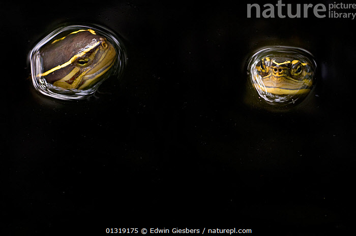 Two Malaysian box turtles (Cuora amboinensis) with heads above water, Sarawak, Borneo, Malaysia  ,  animal head,ASIA,bizarre,BLACK,black background,borneo,BORNEO ISLAND,catalogue3,close up,CLOSE UPS,copyspace,Eerie,emergence,facial expression,haunting,HEADS,Malaysia,Nobody,outdoors,REPTILES,RIVER TURTLES,sarawak,SMILING,SOUTH EAST ASIA,spooky,strange,studio shot,surfacing,SWIMMING,two,two animals,VERTEBRATES,WATER,WILDLIFE,Chelonia,Turtles  ,  Edwin Giesbers