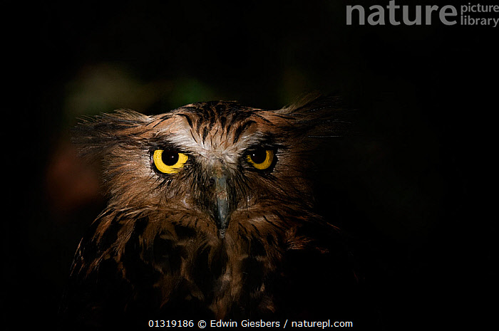 Buffy fish owl (Ketupa ketupa) head portrait,  captive  ,  animal head,animal marking,animal portrait,BIRDS,BIRDS OF PREY,captive,catalogue3,close up,CLOSE UPS,EYES,facial expression,front view,grumpy,HEADS,looking at camera,miserable,NIGHT,Nobody,one animal,outdoors,OWLS,plumage,PORTRAITS,SOUTH EAST ASIA,staring,suspicious,VERTEBRATES,WILDLIFE,yellow eyes,Raptor,,Rebel,  ,  Edwin Giesbers
