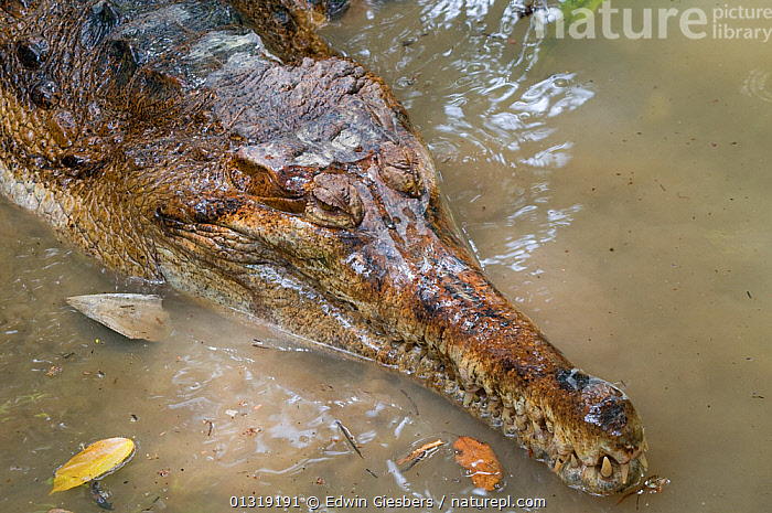 False Gharial (Tomistoma schlegelii) head portrait in shallow water. Endangered, captive. Found in Sarawak, Borneo, Malaysia  ,  CLOSE-UPS, CROCODILES, CROCODILIANS, PORTRAITS, REPTILES, SOUTH-EAST-ASIA, TEETH, VERTEBRATES,Asia  ,  Edwin Giesbers