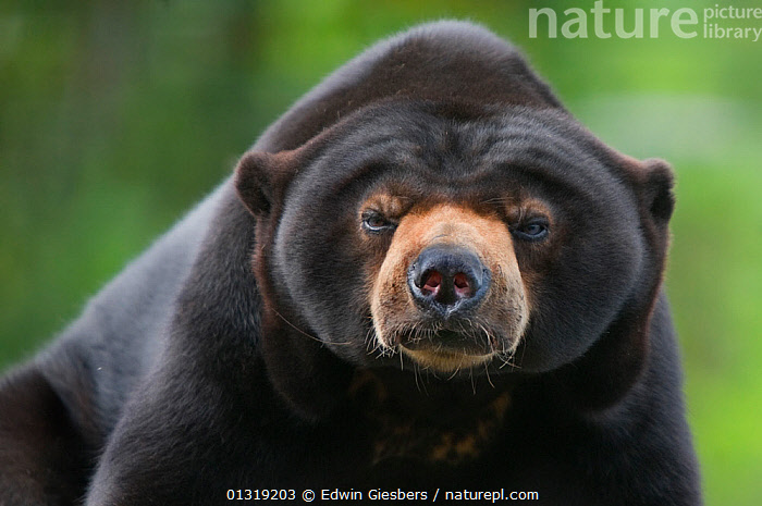 Malayan Sun Bear (Ursus malayanus) head portrait. Capitve, native to southeast Asia. Vulnerable  ,  ASIA,BEARS,BORNEO ISLAND,CARNIVORES,FACES,MAMMALS,PORTRAITS,SOUTH EAST ASIA,VERTEBRATES,VULNERABLE  ,  Edwin Giesbers
