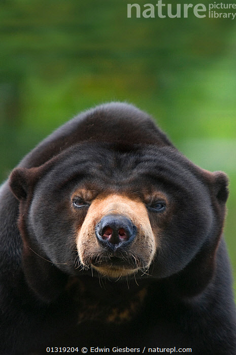 Malayan Sun Bear (Ursus malayanus) head portrait. Capitve, native to southeast Asia. Vulnerable  ,  ASIA,BEARS,BORNEO ISLAND,CARNIVORES,MAMMALS,SOUTH EAST ASIA,VERTEBRATES,VERTICAL,VULNERABLE  ,  Edwin Giesbers