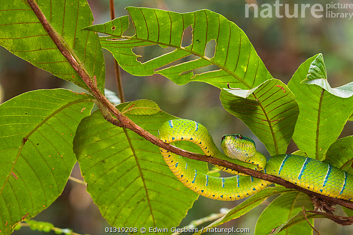 Wagler's / Temple pit viper (Tropidolaemus wagleri) camouflaged on vine branch,  Kubah National Park, Sarawak, Borneo, Malaysia  ,  ASIA,BORNEO ISLAND,CAMOUFLAGE,GREEN,NP,PLANTS,REPTILES,SNAKES,SOUTH EAST ASIA,STRIPES,TROPICAL RAINFOREST,VERTEBRATES,VIPERS,National Park  ,  Edwin Giesbers