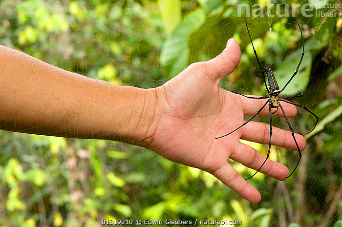 Giant wood / Golden orb spider (Nephila pilipes) with hand to illustrate scale, Sarawak, Borneo, Malaysia  ,  ARACHNIDS,ARTHROPODS,ASIA,BORNEO ISLAND,HANDS,HUGE,INVERTEBRATES,LARGE,ORB WEAVER SPIDERS,SIZE,SOUTH EAST ASIA,SPIDERS,TROPICAL RAINFOREST,WEBS  ,  Edwin Giesbers