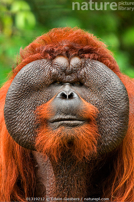 Orang utan (Pongo pygmaeus) head portrait of dominant male called Aman. He is the first orangutan in the world to have had his cataracts operated on and his eye sight restored. Matang wildlife centre, Sarawak, Borneo, Malaysia, June 2010. Endangered  ,  ASIA,BORNEO ISLAND,ENDANGERED,EXPRESSIONS,EYES,FACES,GREAT APES,MALES,MAMMALS,ORANGUTAN,PORTRAITS,PRIMATES,SOUTH EAST ASIA,VERTICAL  ,  Edwin Giesbers