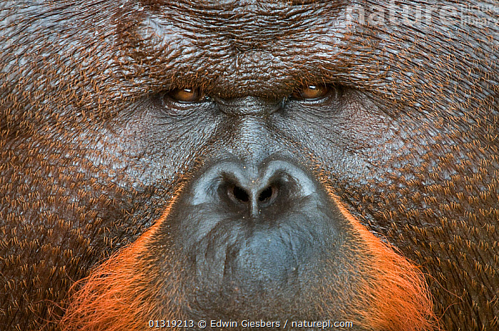 Orang utan (Pongo pygmaeus) close up face portrait of dominant male called Aman. He is the first orangutan in the world to have had his cataracts operated on and his eye sight restored. Matang wildlife centre, Sarawak, Borneo, Malaysia, June 2010. Endangered  ,  ASIA,BORNEO ISLAND,CLOSE UPS,ENDANGERED,FACES,GREAT APES,MALES,MAMMALS,NOSES,ORANGUTAN,PORTRAITS,PRIMATES,SOUTH EAST ASIA  ,  Edwin Giesbers