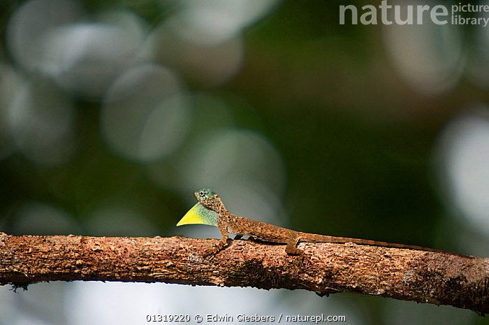 Flying Dragon / Lizard (Draco volans) with throat pouch extended, standing on tree branch, Sarawak, Borneo, Malaysia  ,  AGAMAS,ASIA,BORNEO ISLAND,DISPLAY,LIZARDS,REPTILES,SOUTH EAST ASIA,TROPICAL RAINFOREST,VERTEBRATES,Communication  ,  Edwin Giesbers