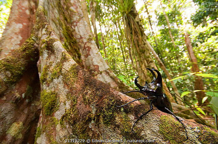 Three-horned Rhinoceros beetle (Chalcosoma mollenkampi) on buttress root, Kubah National park, Sarawak, Borneo, Malaysia  ,  ASIA, BEETLES, BORNEO ISLAND, COLEOPTERA, INSECTS, INVERTEBRATES, NP, ROOTS, SCARAB-BEETLES, SOUTH-EAST-ASIA, TROPICAL-RAINFOREST,National Park  ,  Edwin Giesbers