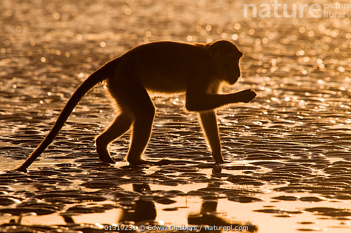 Long-tailed / Crab-eating macaque (Macaca fascicularis) foraging on exposed tideline, Bako National Park, Sarawak, Borneo, Malaysia  ,  ASIA,BEACHES,BORNEO ISLAND,COASTS,DAWN,FORAGING,MACAQUES,MAMMALS,MONKEYS,NP,PRIMATES,SILHOUETTES,SOUTH EAST ASIA,VERTEBRATES,WATER,National Park  ,  Edwin Giesbers