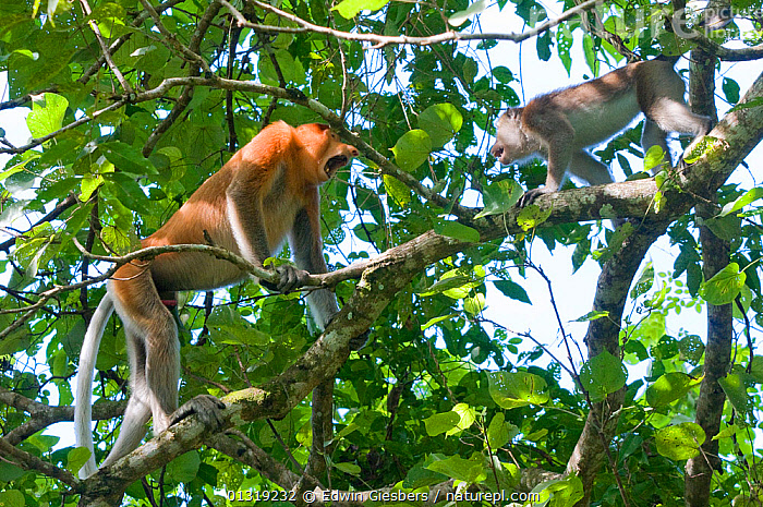 Proboscis Monkey, (Nasalis larvatus) male in confrontation with Crab eating macaque (Macaca fascicularis) Bako National Park, Sarawak, Borneo, Malaysia  ,  AGGRESSION,ASIA,BEHAVIOUR,BORNEO ISLAND,ENCOUNTER,ENDANGERED,INTERACTION,MACACA FASCICULARIS,MALES,MAMMALS,MIXED SPECIES,MONKEYS,NP,PRIMATES,SOUTH EAST ASIA,TERRITORIAL,TREES,TROPICAL RAINFOREST,Concepts,National Park,PLANTS  ,  Edwin Giesbers