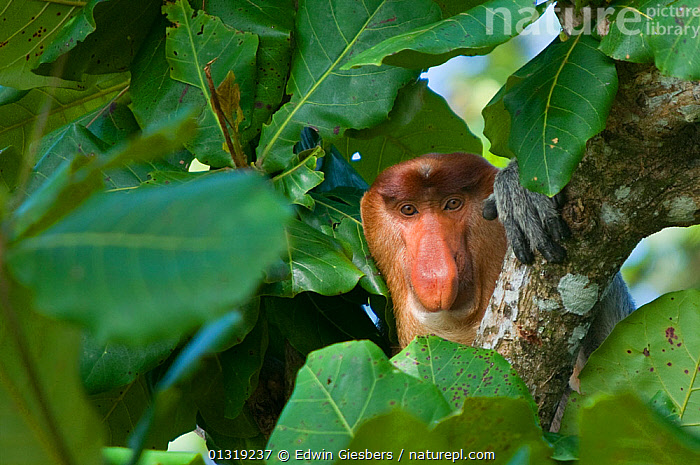 Proboscis Monkey (Nasalis larvatus) male head portrait, sitting in tree, Bako National Park, Sarawak, Borneo, Malaysia  ,  ASIA,BORNEO ISLAND,ENDANGERED,MAMMALS,MONKEYS,NP,PORTRAITS,PRIMATES,SOUTH EAST ASIA,TROPICAL RAINFOREST,National Park  ,  Edwin Giesbers