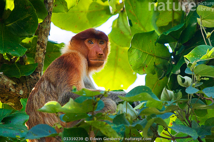 Proboscis Monkey (Nasalis larvatus) female sitting in tree, Bako National Park, Sarawak, Borneo, Malaysia  ,  ASIA,BORNEO ISLAND,ENDANGERED,FEMALES,MAMMALS,MONKEYS,NP,PORTRAITS,PRIMATES,SOUTH EAST ASIA,TREES,TROPICAL RAINFOREST,National Park,PLANTS  ,  Edwin Giesbers