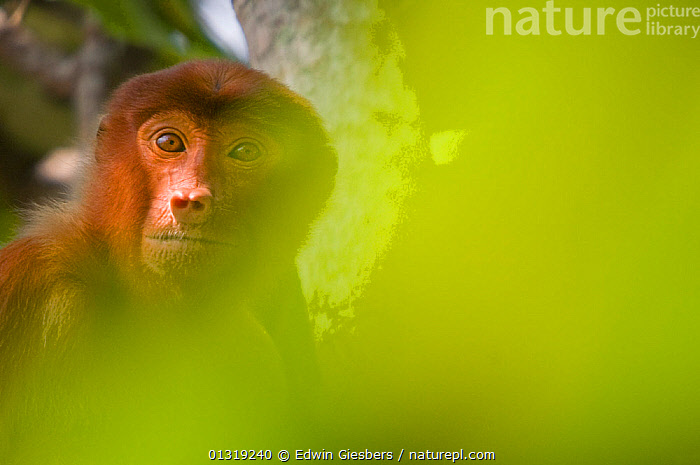 Proboscis Monkey (Nasalis larvatus) female sitting in tree, partially obscured by soft focus leaves in foreground, Bako National Park, Sarawak, Borneo, Malaysia  ,  animal head,animal portrait,ASIA,Bako National Park,borneo,BORNEO ISLAND,catalogue3,close up,CLOSE UPS,differential focus,ENDANGERED,female animal,FEMALES,front view,LEAVES,Malaysia,MAMMALS,MONKEYS,negative space,Nobody,NP,OBSCURED,one animal,outdoors,PORTRAITS,PRIMATES,sarawak,selective focus,SOUTH EAST ASIA,TROPICAL RAINFOREST,WILDLIFE,wistful,YELLOW,National Park  ,  Edwin Giesbers