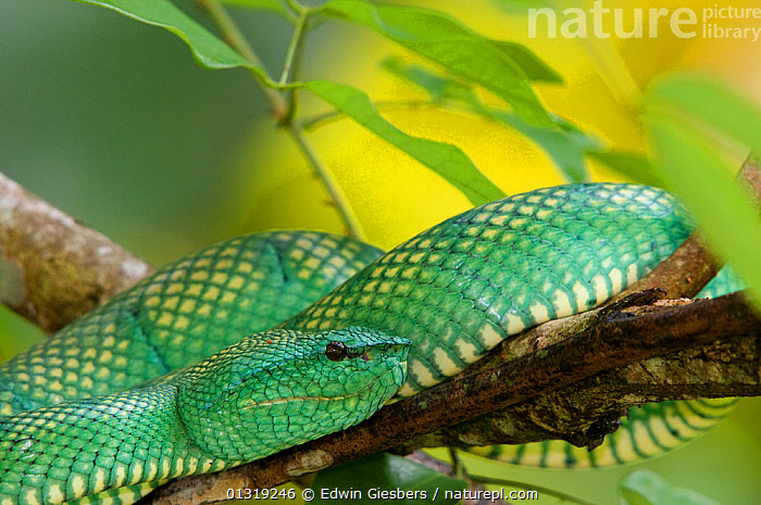 Wagler's / Temple pit viper (Tropidolaemus wagleri) close-up, coiled on branch, Bako National Park, Sarawak, Borneo, Malaysia  ,  ASIA,BORNEO ISLAND,CLOSE UPS,COLOURFUL,GREEN,NP,PATTERNS,REPTILES,SNAKES,SOUTH EAST ASIA,VERTEBRATES,VIPERS,National Park  ,  Edwin Giesbers