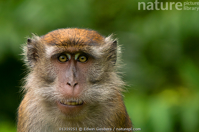 Long-tailed / Crab-eating macaque (Macaca fascicularis) head portrait, Bako National Park, Sarawak, Borneo, Malaysia  ,  ASIA,BORNEO ISLAND,MACAQUES,MAMMALS,MONKEYS,NP,PORTRAITS,PRIMATES,SOUTH EAST ASIA,VERTEBRATES,National Park  ,  Edwin Giesbers