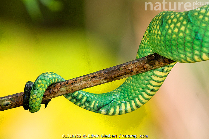 Wagler's / Temple pit viper  (Tropidolaemus wagleri) close-up of tail coiled around plant stem, Bako National Park, Sarawak, Borneo, Malaysia  ,  ASIA,BORNEO ISLAND,CLOSE UPS,COLOURFUL,DETAILS,GREEN,NP,PREHENSILE,REPTILES,SNAKES,SOUTH EAST ASIA,TAILS,VERTEBRATES,VIPERS,National Park  ,  Edwin Giesbers