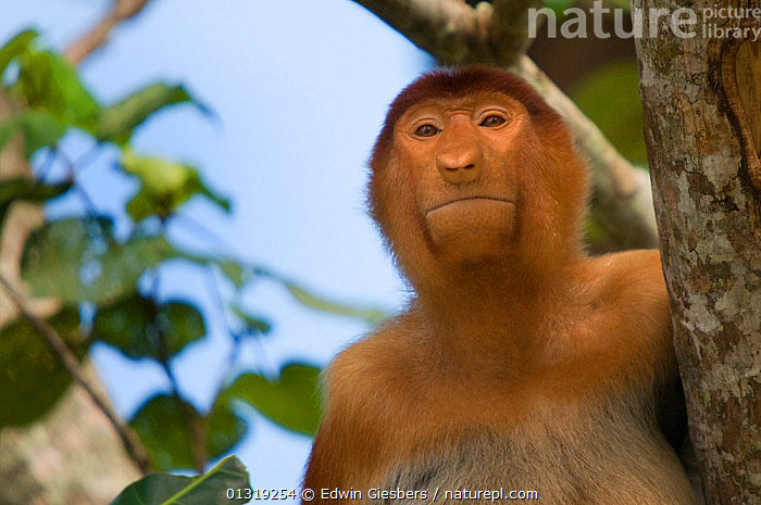 Proboscis Monkey (Nasalis larvatus) juvenile male portrait, sitting in a tree, viewed from below, Bako National Park, Sarawak, Malaysia, Borneo  ,  ASIA,BORNEO ISLAND,ENDANGERED,JUVENILE,MALES,MAMMALS,MONKEYS,NP,PORTRAITS,PRIMATES,SOUTH EAST ASIA,TROPICAL RAINFOREST,National Park  ,  Edwin Giesbers