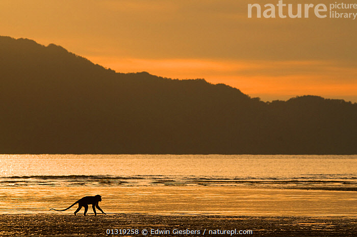 Long-tailed / Crab-eating macaque  (Macaca fascicularis) foraging on coastline at dawn, Bako National Park, Sarawak, Borneo, Malaysia  ,  ASIA,BEACHES,BORNEO ISLAND,COASTS,DAWN,FORAGING,LANDSCAPES,MACAQUES,MAMMALS,MONKEYS,NP,PRIMATES,SEA,SILHOUETTES,SOUTH EAST ASIA,VERTEBRATES,National Park  ,  Edwin Giesbers