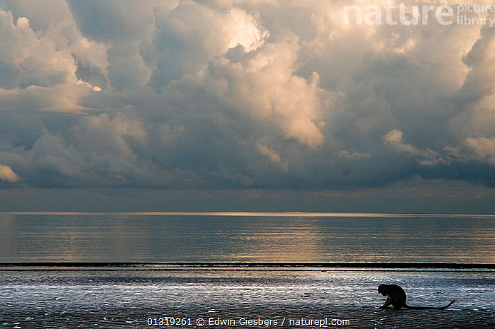 Long-tailed / Crab-eating macaque (Macaca fascicularis) foraging on coastline at low tide, Bako National Park, Sarawak, Borneo, Malaysia  ,  ASIA,ATMOSPHERIC,BORNEO ISLAND,CLOUDS,COASTS,FORAGING,LANDSCAPES,LITTORAL,MACAQUES,MAMMALS,MONKEYS,NP,PRIMATES,SKY,SOUTH EAST ASIA,STORMS,VERTEBRATES,WEATHER,Intertidal,National Park  ,  Edwin Giesbers