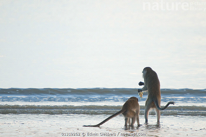 Two Long-tailed / Crab-eating macaques (Macaca fascicularis) foraging along coastline in shallow water, Bako National Park, Sarawak, Borneo, Malaysia  ,  ASIA,BORNEO ISLAND,COASTS,FORAGING,MACAQUES,MAMMALS,MONKEYS,NP,PRIMATES,SEA,SOUTH EAST ASIA,TWO,VERTEBRATES,WATER,National Park,Catalogue5  ,  Edwin Giesbers