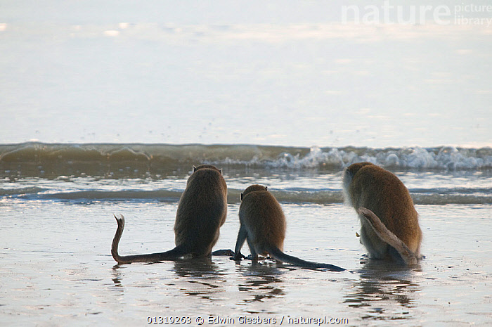 Three Long-tailed / Crab-eating macaques (Macaca fascicularis) rear view, foraging on coastline in shallow water with waves, Bako National Park, Sarawak, Borneo, Malaysia  ,  ASIA,BORNEO ISLAND,COASTS,FORAGING,MACAQUES,MAMMALS,MONKEYS,NP,PRIMATES,SEA,SOUTH EAST ASIA,THREE,VERTEBRATES,WATER,WAVES,National Park  ,  Edwin Giesbers