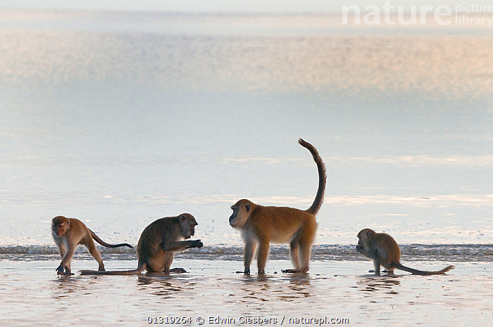 Four Long-tailed / Crab-eating macaques (Macaca fascicularis) foraging on coastline in shallow water with waves, Bako National Park, Sarawak, Borneo, Malaysia  ,  ASIA,BORNEO ISLAND,COASTS,FORAGING,FOUR,GROUPS,MACAQUES,MAMMALS,MONKEYS,NP,PRIMATES,SEA,SOUTH EAST ASIA,VERTEBRATES,WATER,National Park  ,  Edwin Giesbers
