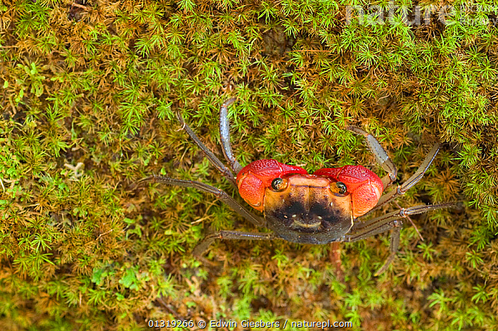Land crab (Gecarcinidae) on moss in tropical forest, Sarawak Borneo, Malaysia,  ,  ARTHROPODS,ASIA,BORNEO ISLAND,CAMOUFLAGE,CRABS,CRUSTACEANS,CRYPTIC,EYES,INVERTEBRATES,LAND CRABS,RED,SOUTH EAST ASIA,TROPICAL RAINFOREST  ,  Edwin Giesbers