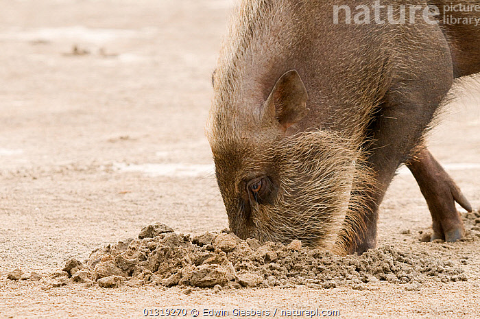 Bearded pig (Sus barbatus)  digging for food on beach, Bako National Park, Sarawak, Borneo, Malaysia  ,  ARTIODACTYLA,ASIA,BEACHES,BEHAVIOUR,BORNEO ISLAND,FORAGING,MAMMALS,NP,PIGS,SAND,SOUTH EAST ASIA,SUIDS,VERTEBRATES,National Park  ,  Edwin Giesbers