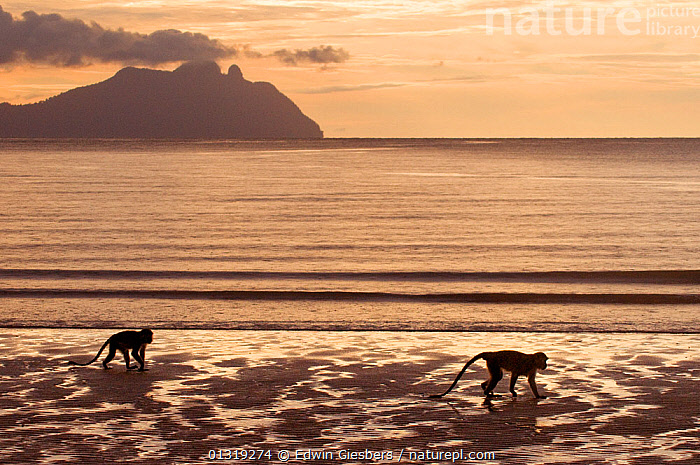 Two Long-tailed / Crab-eating macaques (Macaca fascicularis) foraging on coastline, Bako National Park, Sarawak, Borneo, Malaysia  ,  ASIA,BEACHES,BORNEO ISLAND,COASTS,FORAGING,MACAQUES,MAMMALS,MONKEYS,NP,PRIMATES,SEA,SOUTH EAST ASIA,TWO,VERTEBRATES,National Park  ,  Edwin Giesbers